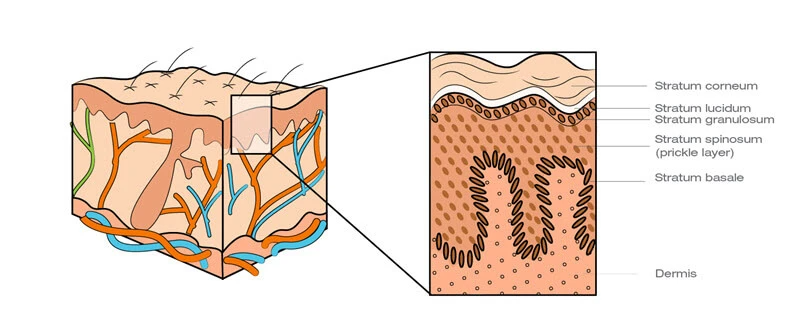 skin layers of the epidermis